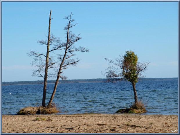 Deux arbres en bord de rive du Lac de Cazaux  (La Teste de Buch, Bassin d'Arcachon)