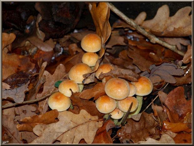 Hypholomes en Touffe au coeur d'un lit de feuilles de chêne en forêt sur le Bassin d'Arcachon