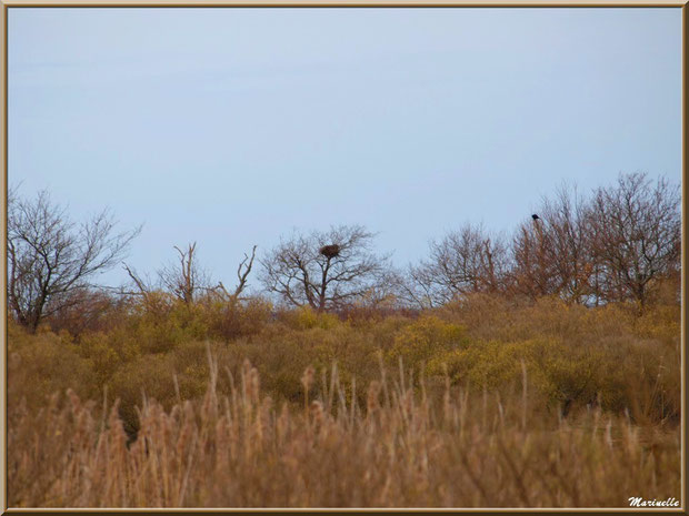 Nid dans un arbre dans les marais, Sentier du Littoral, secteur Domaine de Certes et Graveyron, Bassin d'Arcachon (33)