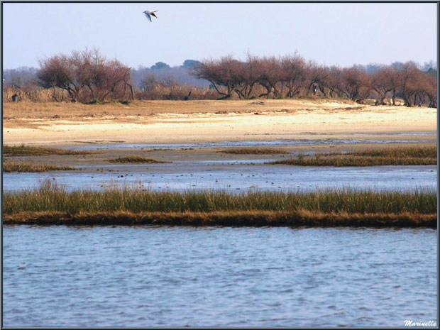 La plage avec ses tamaris en tenu hivernale, côté Bassin, avec mouette en vol, Sentier du Littoral, secteur Domaine de Certes et Graveyron, Bassin d'Arcachon (33)