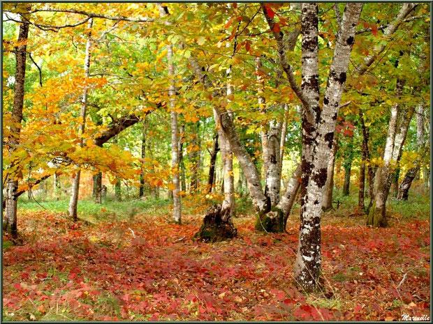 Sous-bois en tenue automnale dans la forêt sur le Bassin d'Arcachon (33)