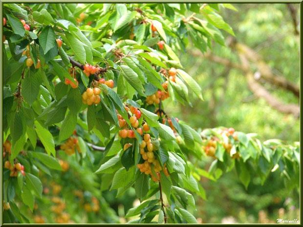 Cerisiers dans la campagne du village de Le Beaucet, Lubéron (84)