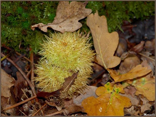 Bogue de Châtaignier au sol en automne, flore Bassin d'Arcachon (33)
