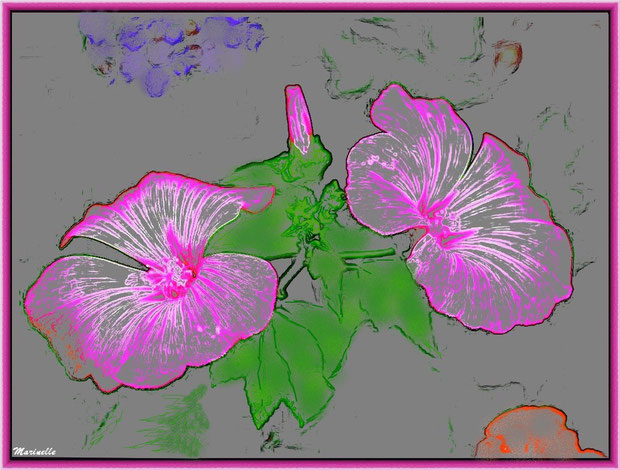 Lavatères roses au jardin