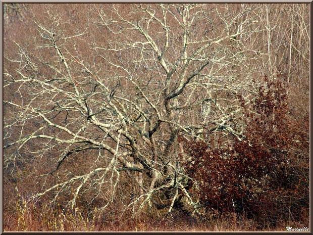 Chêne en tenue hivernale, flore Bassin d'Arcachon (33)