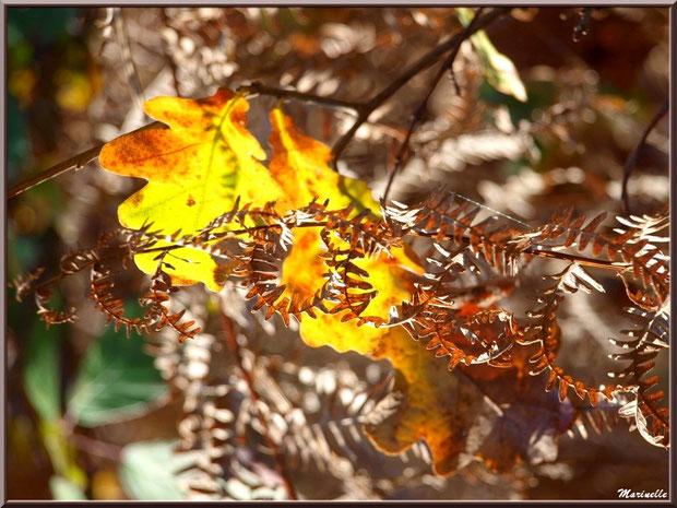 Fougère automnale et feuilles de chênes suspendues, en forêt sur le Bassin d'Arcachon (33)