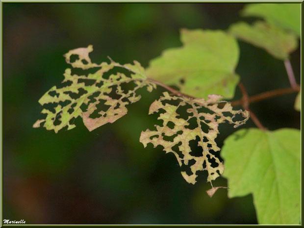 Feuilles dentelles d'automne en bordure de La Leyre, Sentier du Littoral au lieu-dit Lamothe, Le Teich, Bassin d'Arcachon (33)
