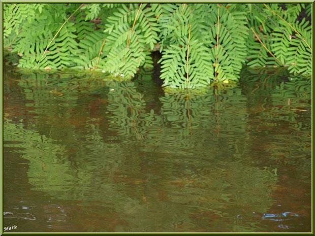 Fougères Royales ou Osmondes Royales et leurs reflets sur le Canal des Landes au Parc de la Chêneraie à Gujan-Mestras (Bassin d'Arcachon)