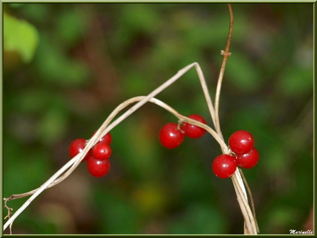 """Baies de tamier ou """"raspounchou"""" ou Herbe aux femmes battues enroulées sur une branche d'arbrisseau, flore sur le Bassin d'Arcachon (33)"""