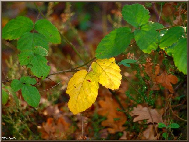 Roncier en début d'automne parmi bruyères et feuilles de chêne, forêt sur le Bassin d'Arcachon (33)