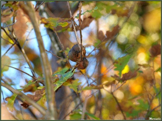 Boules du Chêne ou Galles du Chêne, flore Bassin d'Arcachon (33)