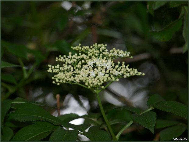 Sureau Noir en fleurs, flore Bassin d'Arcachon (33)