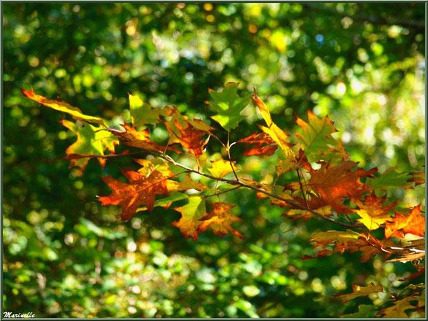 Branche de chêne automnal sur fond verdoyant, forêt sur le Bassin d'Arcachon (33)
