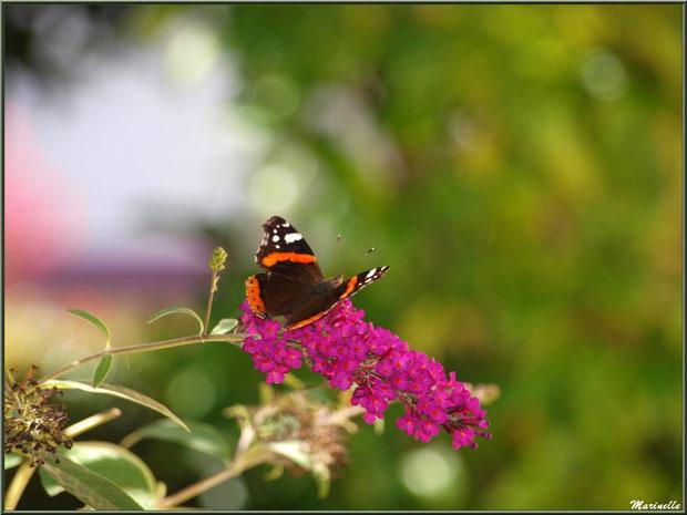 Papillon Vulcain sur fleur d'Arbre à Papillons