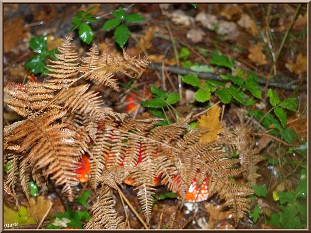Amanites Tue-mouches, cachées en famille, en forêt sur le Bassin d'Arcachon