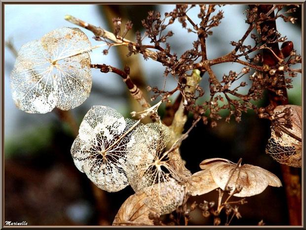 Comme une dentelle... Fleur d'hortensia en hiver