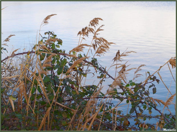 Roseaux et roncier en bordure d'un réservoir sur le Sentier du Littoral, secteur Moulin de Cantarrane, Bassin d'Arcachon