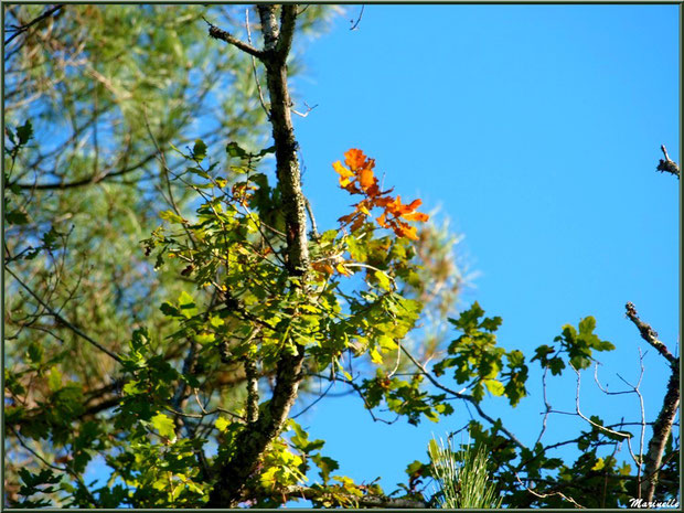 Méli mélo forestier : chêne automnal sur fond de pins, forêt sur le Bassin d'Arcachon (33)