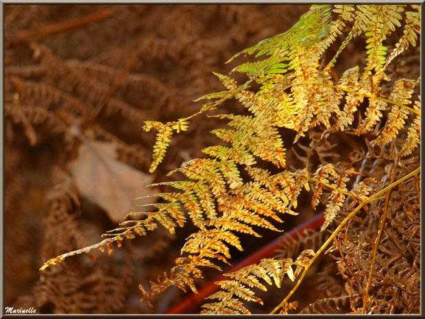 Fougères automnales en forêt sur le Bassin d'Arcachon (33)