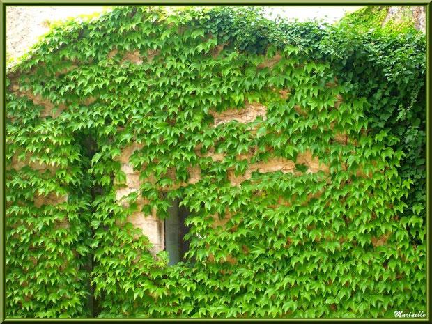 Façade à la vigne vierge dans le village d'Oppède-le-Vieux, Lubéron (84)