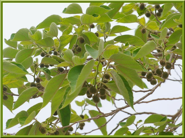 Arbre à petits fruits veloutés sur le parking avant la montée vers le village d'Oppède-le-Vieux, Lubéron (84)