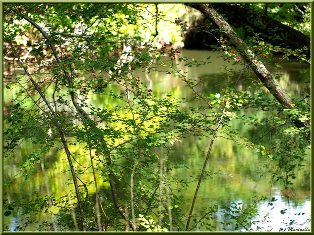 Aubépines et ses baies, verdure et reflets en en bordure de La Leyre, Sentier du Littoral au lieu-dit Lamothe, Le Teich, Bassin d'Arcachon