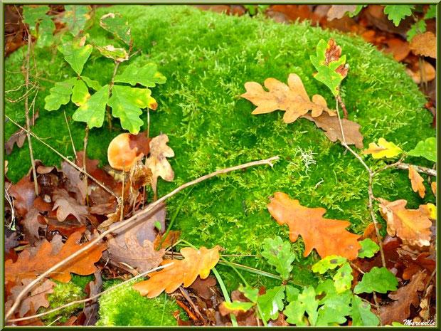 Feuilles de chêne automnale et champignons sur tapis de mousse, forêt sur le Bassin d'Arcachon (33)