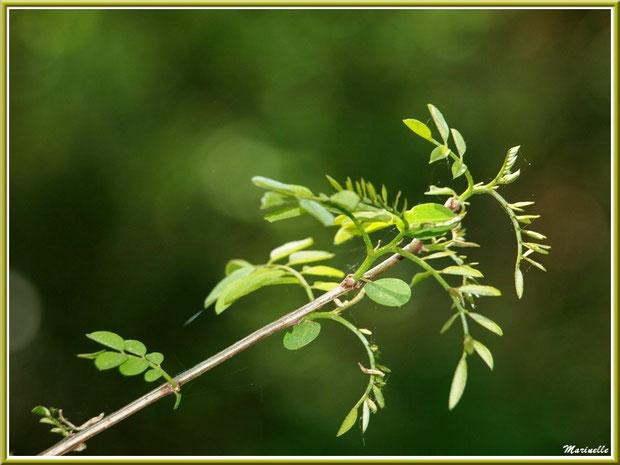 Branche de Robinier ou (faux) Acacia et ses pousses printanières, flore Bassin d'Arcachon (33)