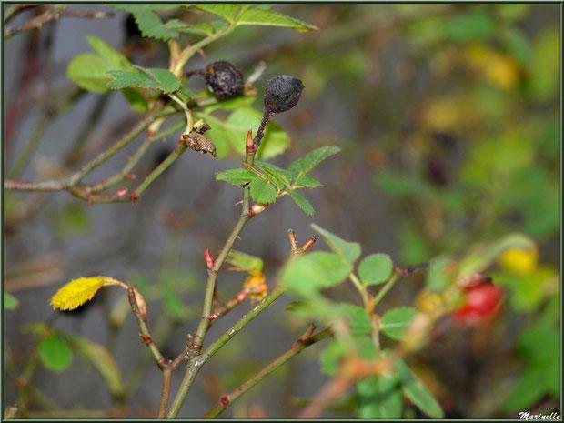 Cynorhodon ou Cynorrhodon ou Gratte-cul, séché en hiver, fruit de l'Eglantier ou Rosier Sauvage, flore sur le Bassin d'Arcachon (33)