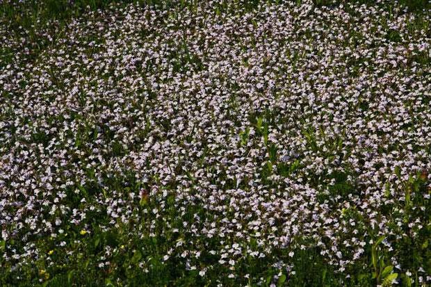 ムラサキサギゴケ (紫鷺苔) ハエドクソウ科 サギゴケ属  絨毯のようにびっしり咲いていた