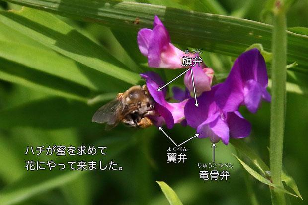 ハチは花の奥の蜜を吸うために、翼弁と竜骨弁を押し下げます