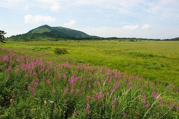 ヤナギランが咲く八島ヶ原湿原  2008.08.03 alt=1630m