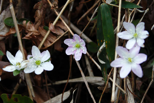 スハマソウの花色は、個体差がありました。