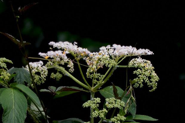 ソクズの花には蜜がなく、花序の中にまばらにある、黄色の腺体に蜜をためるそうです