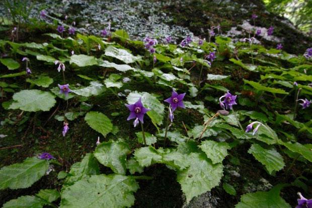 イワタバコ (岩煙草) イワタバコ科  大きな岩に咲いていた ほぼ真下から撮影