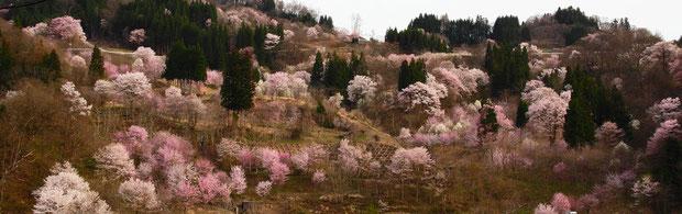 北信州は今桜が満開!