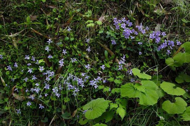 タチツボスミレ 環境が合うのか、元気よく咲いていた