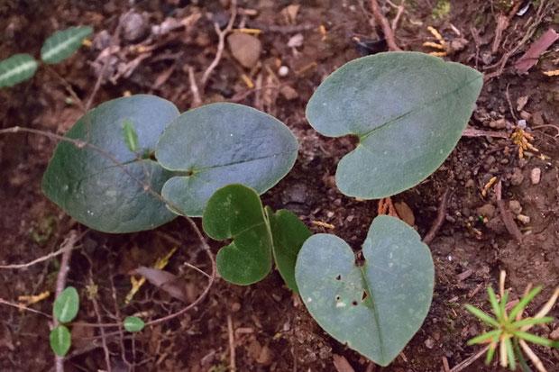 環境省が絶滅危惧1B類に指定している植物  葉は長さは5〜10cm、幅は4〜7cm
