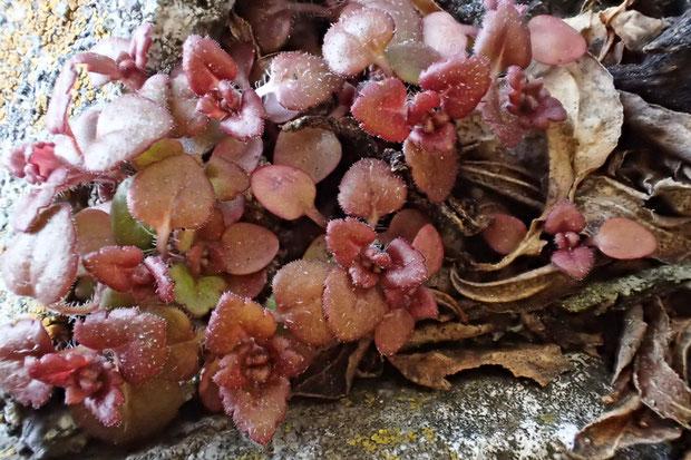 これから花を咲かせるであろう株もたくさんあった。 小さく丸っこいのが蕾かな
