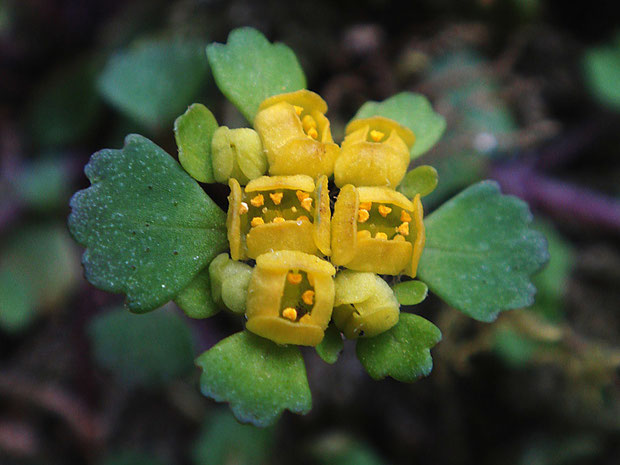 コガネネコノメソウ (黄金猫の目草) ユキノシタ科 ネコノメソウ属 萼裂片は方形、雄しべは突き出ない