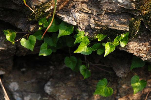 ツヤスミレ (艶菫)の葉 タチツボスミレの海岸型 花期は3〜4月