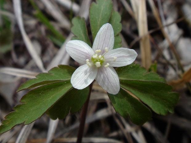 #6 ヒメイチゲの花  2005.05.29 群馬県 野反湖