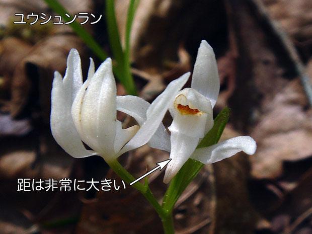 #8 ユウシュンランは花の形状が異なり、距も大きい。  2015.04.26 栃木県