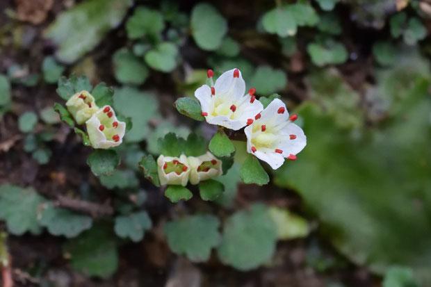ハナネコノメ 開花しようとしている花・開花直後の花は、とても初々しい