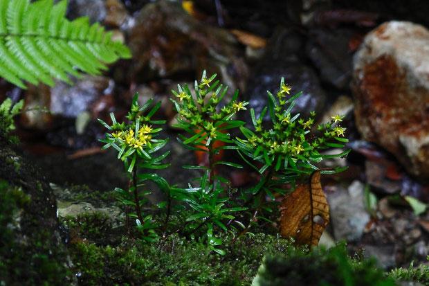 マツノハマンネングサ (松の葉万年草) ベンケイソウ科 マンネングサ属  咲き残り