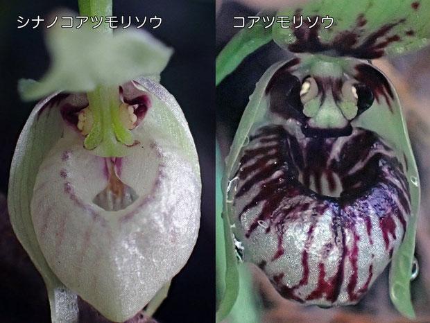 シナノコアツモリソウの唇弁下部は、コアツモリソウより突き出しているように見えた
