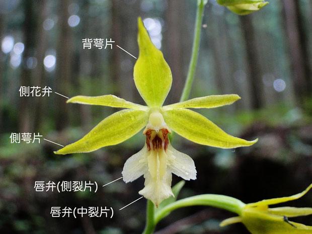 キンセイランの花の構造(背萼片、側花弁、側萼片、唇弁、側萼片、中裂片)