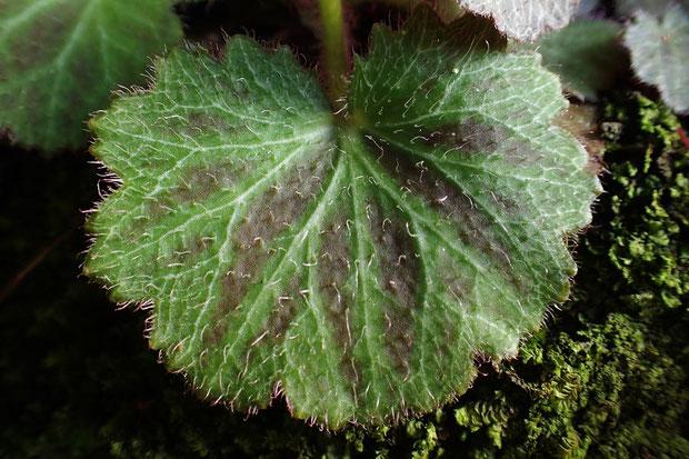 #20 ホシザキユキノシタの葉の表面