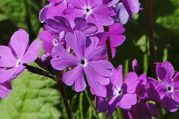 中央の花です。 確かに花弁が1つ多く、6個あります。初めて見ましたが、ここではよく見つかるとか。