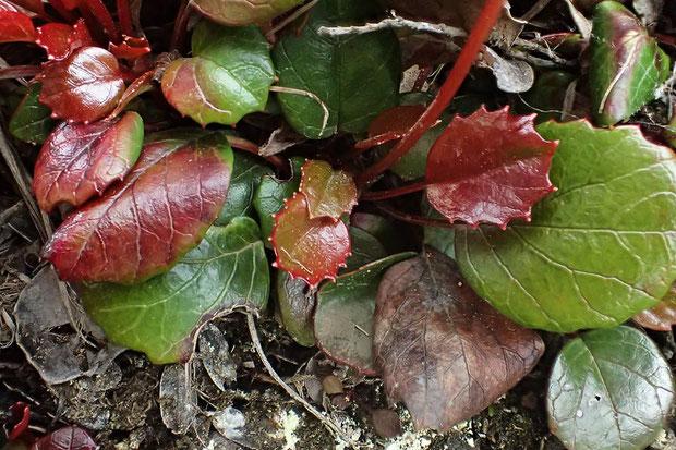 ヒメイワカガミの葉は光沢があり、1〜5対の尖った鋸歯があります。 葉の基部付近には鋸歯がありません